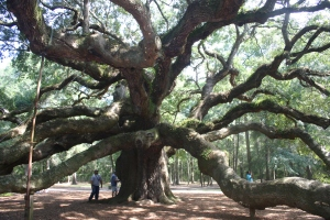 Angel Oak Tree, a gorgeous tree embracing Johns Island, SC